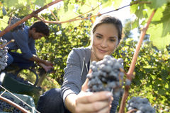 Young woman cutting grapes in vineyard Stock Images