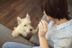 Young woman with a dog at home. Girl in blue shirt and trousers playing with white scotch terrier on the flour Royalty Free Stock Photography