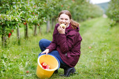 Young woman eating red apples in an orchard Stock Images