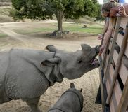 Tourists enjoy feeding a rhinoceroses while her baby huddles near by royalty free stock photography