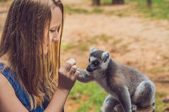 Young woman is fed Ring-tailed lemur - Lemur catta. Beauty in na. Ture. Petting zoo concept stock images