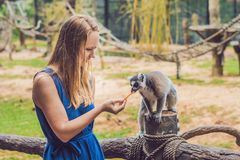 Young woman is fed Ring-tailed lemur - Lemur catta. Beauty in nature. Petting zoo concept.  royalty free stock image