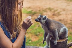Young woman is fed Ring-tailed lemur - Lemur catta. Beauty in nature. Petting zoo concept.  royalty free stock photos