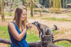 Young woman is fed Ring-tailed lemur - Lemur catta. Beauty in nature. Petting zoo concept.  stock images