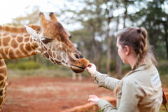 Young woman feeding giraffe in Africa Royalty Free Stock Photography
