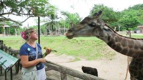 Young woman feeding a giraffe stock video footage