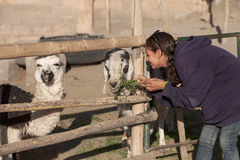 Young woman feeding a goat and lama in safari park Royalty Free Stock Image