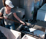 Young woman feeding the grape crusher. Young woman working the grape crusher machine feeding it grapes. At a winery near Gilroy California. Large stainless steel Royalty Free Stock Images
