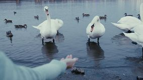 A young woman feeding on a lake swans and ducks Bird feeding in winter stock footage