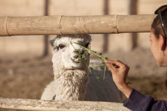 Young woman feeding lama in safari park. Stock Images
