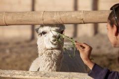 Young woman feeding lama in safari park. Stock Images