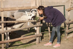 Young woman feeding lama in safari park Royalty Free Stock Images