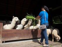 Young woman feeding luzy grass to latin llama in ranch farm Stock Image