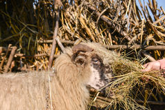 Young woman feeding a sheep with hay in a sunny day of spring Royalty Free Stock Photo