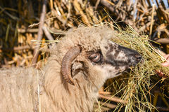 Young woman feeding a sheep with hay in a sunny day of spring Royalty Free Stock Images