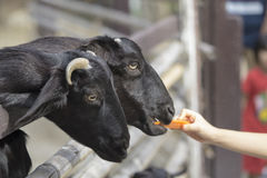 Young woman feeds the black goat. By hand Royalty Free Stock Photo