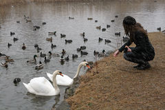 A young woman feeds ducks and swans Royalty Free Stock Image