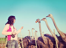 Young woman feeds ostriches stock photo