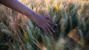 Young woman female girls hand feeling the top of a field of barley crop at sunset or sunrise stock video footage