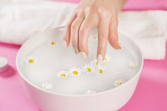 Young woman finger with nails polish touch daisy flower in water in bowl. On pink background. Manicure concept. Selective focus Royalty Free Stock Images