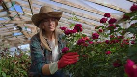 A young woman florist takes care of roses in a greenhouse, sitting in gloves, examining and touching flower buds with
