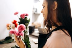Young woman florist touches with her hand fresh pink chrysanthemums stock images