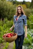 Young woman gardener holding a basket full of red paprika Stock Photography