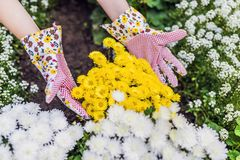 Young woman gardener planting flowers in the garden. People, gar. Dening, planting of flowers, hobby concept. woman gardener care of flowers in the garden Royalty Free Stock Images