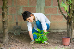 Young woman gardener planting hydrangea flower in her garden Royalty Free Stock Image