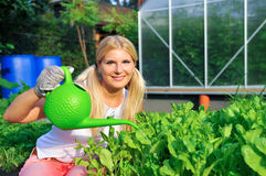 Young woman gardener watering salat plant. Young woman gardener watering green salat plant. outdoor Royalty Free Stock Image
