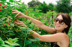 Young woman gathers a berries Royalty Free Stock Photos