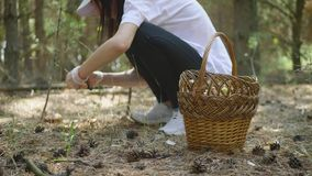Young woman gathers mushrooms in the forest. A girl cuts a edible mushroom in a forest with a knife. Mushroom picker. Cuts a mushroom and puts it in a basket stock video footage