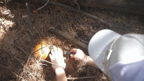 Young woman gathers mushrooms in the forest. A girl cuts a edible mushroom in a forest with a knife. Mushroom picker stock footage
