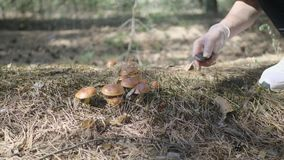 Young woman gathers mushrooms in the forest. A girl cuts a edible mushroom in a forest with a knife. Mushroom picker. Cuts a mushroom and puts it in a basket stock video