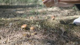Young woman gathers mushrooms in the forest. A girl cuts a edible mushroom in a forest with a knife. Mushroom picker. Cuts a mushroom and puts it in a basket stock footage