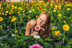 A young woman at a gerbera farm. Flower cultivation in greenhouses. A hothouse with gerbers. Daisy flowers plants in greenhouse royalty free stock photos