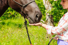 Young woman girl feeding horse. Young woman girl feeding and taking care of brown horse. Female with animal outdoor royalty free stock photography
