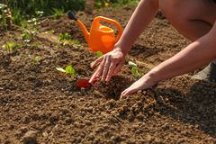 Young woman hands planting seedling into ground little hole with. Small grub hoe and orange sprinkling can in background Stock Photography