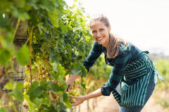 Young woman harvester working Royalty Free Stock Images