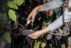 Young woman harvesting black grapes for winemaking. 