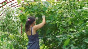 Young woman harvesting cucumbers in a greenhouse. Female farmer harvesting cucumbers in a greenhouse. Slow motion. Organic and healthy food concept stock video footage