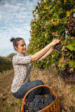 Young Woman Harvesting Grape Royalty Free Stock Photos