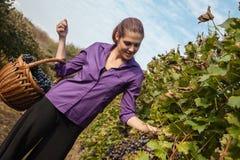 Young Woman Harvesting Grape Stock Photo