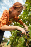 Young Woman Harvesting Grape Stock Images