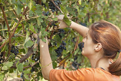 Young Woman Harvesting Grape Royalty Free Stock Images