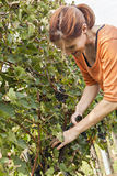 Young Woman Harvesting Grape Stock Photography