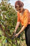 Young Woman Harvesting Grape Stock Photos