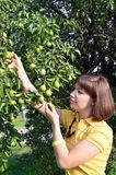 Young woman harvesting green pear stock images