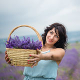 Young woman harvesting lavender flowers Stock Photos