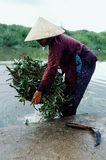 young woman harvesting morning glory vegetables from a river in a traditional conical hut stock image